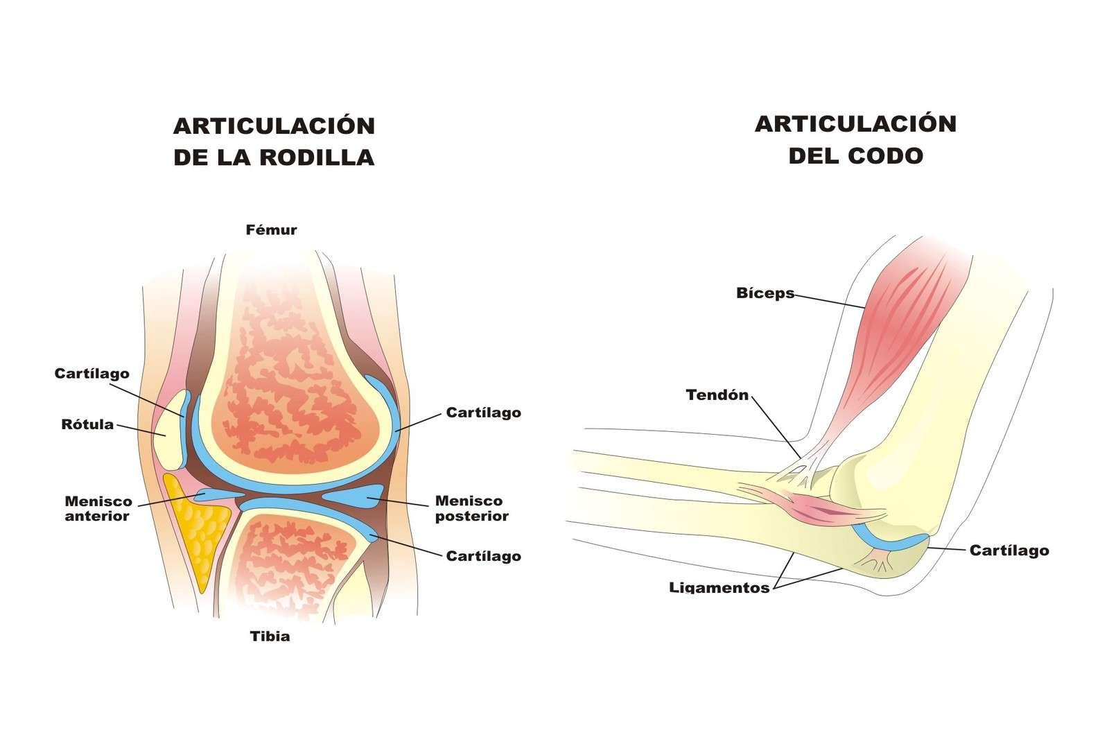 Fantástico Diagrama De Articulaciones Humanas Componente - Anatomía ...